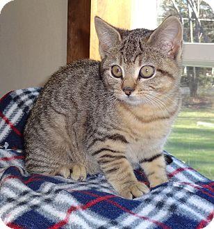 Domestic Shorthair Kitten for adoption in N. Billerica, Massachusetts - Penelope