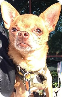 Chihuahua Mix Dog for adoption in San Diego, California - Yuri