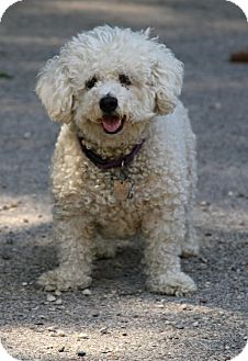Bichon Frise Dog for adoption in Muskegon, Michigan - Annie