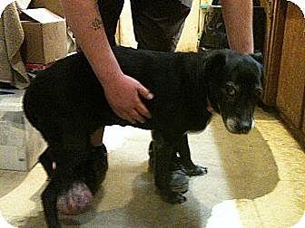 Labrador Retriever Mix Dog for adoption in West Los Angeles, California - Suzy Q