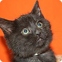 Adopt A Pet :: ISABEL - SILVER SPRING, MD