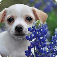 Adopt A Pet :: Dasper - Austin, TX