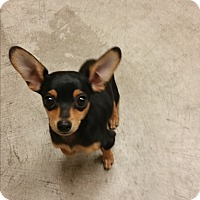 Adopt A Pet :: Lil Man - Nashville, TN