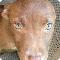 Adopt A Pet :: Alexis- located in NY - Louisville, KY
