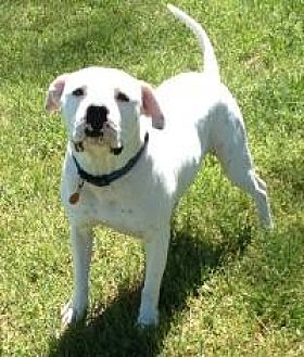 American Bulldog Mix Dog for adoption in Dallas, Texas - Gage