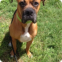 Boxer Dog for adoption in Austin, Texas - Maggie Moo