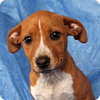 Adopt A Pet :: Penelope (Ya Ya) Boxermix - St. Louis, MO