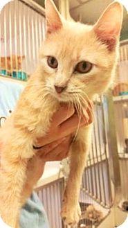 Domestic Shorthair Cat for adoption in Fort Smith, Arkansas - Rossen