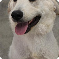 Adopt A Pet :: Snow - Penngrove, CA