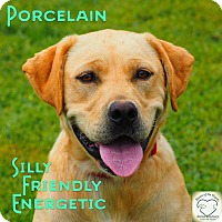 Labrador Retriever Mix Dog for adoption in Washburn, Missouri - Porcelain