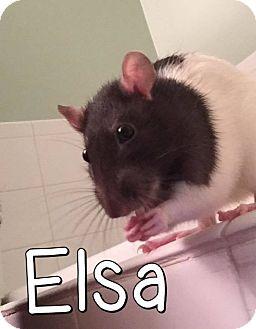 Rat for adoption in Aurora, Illinois - Thelma, Elsa, Louis & Nash