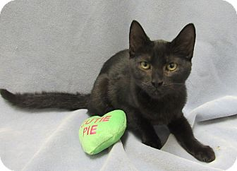 Domestic Shorthair Kitten for adoption in Lexington, North Carolina - Morgana