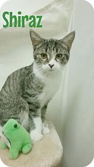 Domestic Shorthair Cat for adoption in Kendallville, Indiana - Shiraz