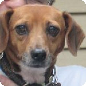 Beagle Mix Dog for adoption in Dumfries, Virginia - Daisy