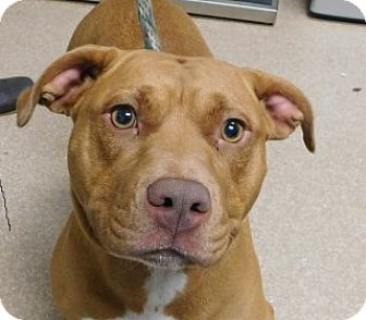 American Pit Bull Terrier Mix Dog for adoption in Saginaw, Michigan - Ginger