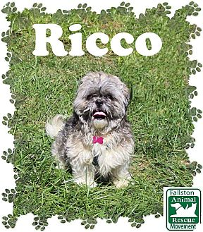 Shih Tzu Mix Dog for adoption in Fallston, Maryland - Ricco