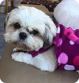 Shih Tzu Dog for adoption in Doylestown, Pennsylvania - Candy