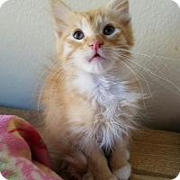 Domestic Longhair Kitten for adoption in Monrovia, California - Blaze