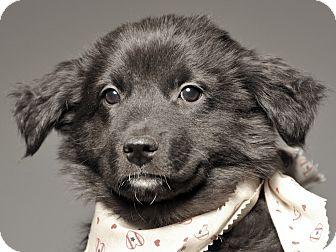 German Shepherd Dog/Labrador Retriever Mix Puppy for adoption in Crossville, Tennessee - Norman - Adoption Pending