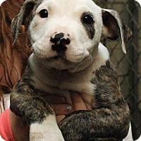 Adopt A Pet :: Shine - Fort Madison, IA