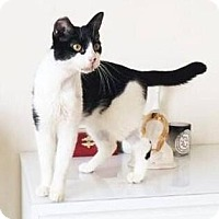 Domestic Shorthair Cat for adoption in New York, New York - Selina Kyle