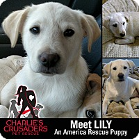 Adopt A Pet :: Lily - Spring City, PA