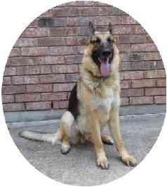 German Shepherd Dog Dog for adoption in Houston, Texas - Shane