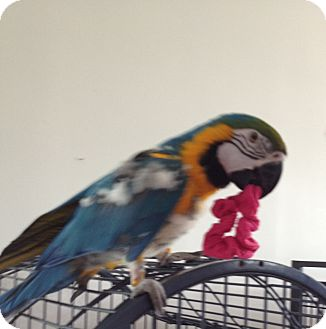 Macaw for adoption in Punta Gorda, Florida - Harley