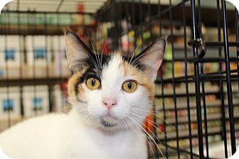 Calico Cat for adoption in Santa Monica, California - Trixie