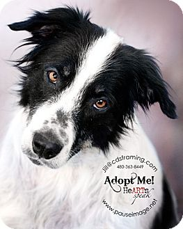 Border Collie/Australian Shepherd Mix Dog for adoption in Phoenix, Arizona - DANDY