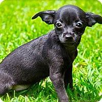 Adopt A Pet :: Yoda, Bambi, Mouse - Houston, TX