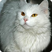 Adopt A Pet :: Snow - Cheyenne, WY