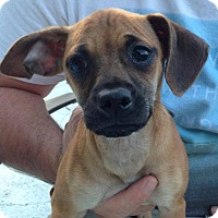 Adopt A Pet :: Rosey - Bedminster, NJ