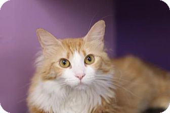 Domestic Mediumhair Cat for adoption in Fresno, California - Tiger