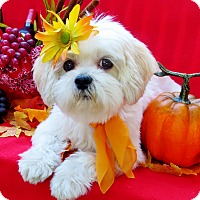Adopt A Pet :: Lola Bubbles - Irvine, CA