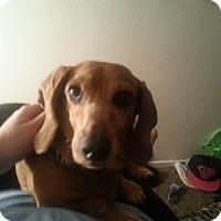 Adopt A Pet :: Polly - Henderson, NV