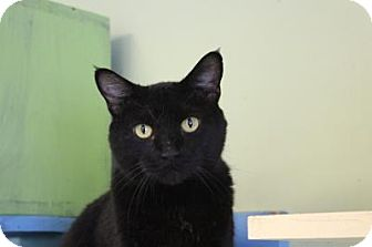 Domestic Shorthair Cat for adoption in Indianapolis, Indiana - Wendy