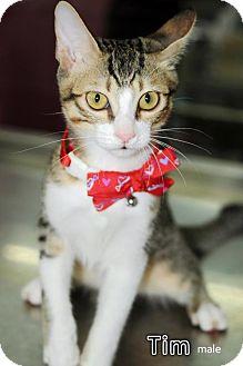Oriental Cat for adoption in Seattle, Washington - Tim Jang