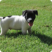 Terrier (Unknown Type, Small) Puppy for adoption in Rossville, Tennessee - Superman
