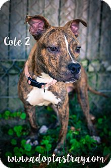Pit Bull Terrier Mix Dog for adoption in Newport, Kentucky - Cole