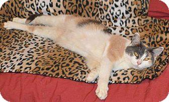Domestic Shorthair Cat for adoption in Wauconda, Illinois - Valentine (Kaylee)