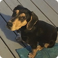 Black and Tan Coonhound/Beagle Mix Puppy for adoption in Matawan, New Jersey - Sophie