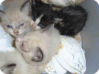 American Shorthair Kitten for adoption in Louisville, Kentucky - A597718