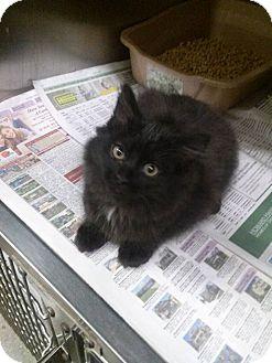 Maine Coon Kitten for adoption in Northfield, Ohio - Abby