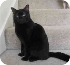 Domestic Shorthair Cat for adoption in Sacramento, California - Nix