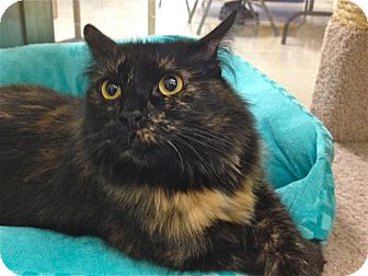 Domestic Mediumhair Cat for adoption in Foothill Ranch, California - Jewel