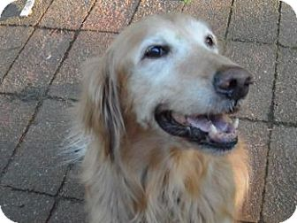 Golden Retriever Dog for adoption in St Louis, Missouri - Zoey