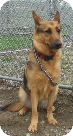 German Shepherd Dog Mix Dog for adoption in Gary, Indiana - Jar Head