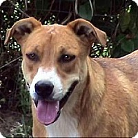 Beagle/Border Collie Mix Dog for adoption in Tyler, Texas - AA-Porter
