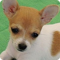Adopt A Pet :: Tiny Charlotte - La Habra Heights, CA